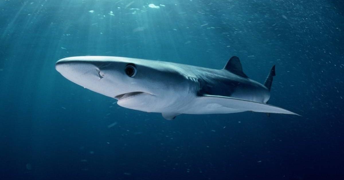 В водах побережья Аликанте несколько раз была замечена синяя акула